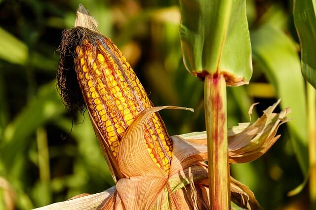 Da mais ogm nessun rischio per la salute umana e animale